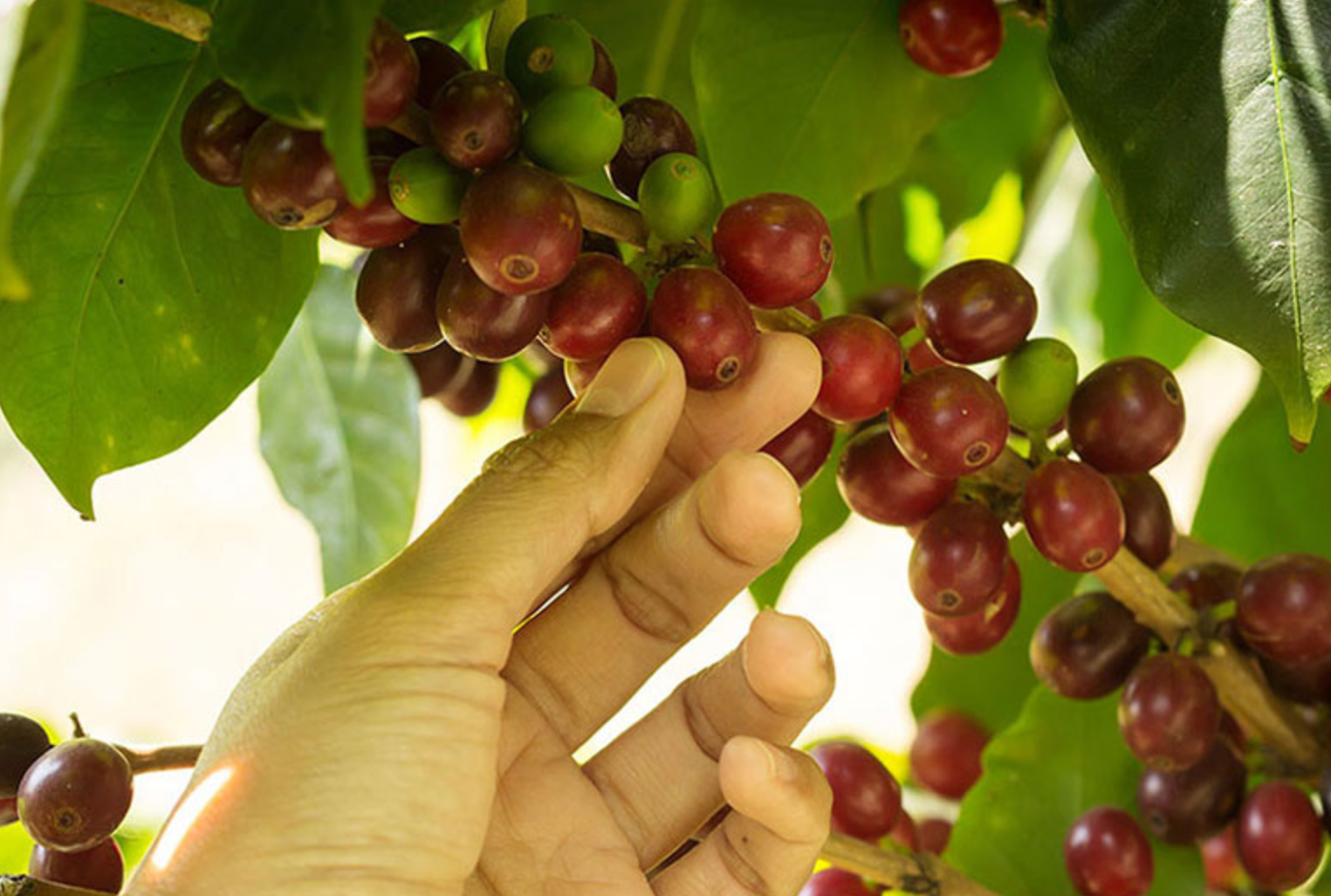 Harvesting coffee for one region can take four to five months. Peak activity lasts 1–2 months and falls in time at the midpoint of harvest, when the berry demonstrates the best quality indicators. If only ripe berries are harvested and if properly processed after harvest, this will be the best batch of the entire crop.